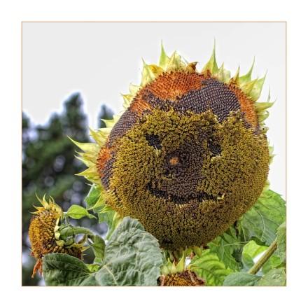 Sonnenblumenlachen – 365tageasatzaday