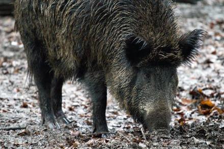Wildschwein – 365tageasatzday